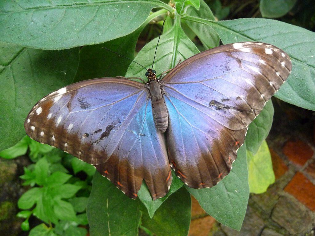 butterfly, butterfly house mainau, blue